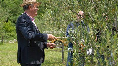 Sorta Casaliva idealna je maslina za Vinodol
